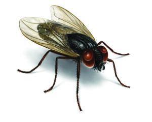 Den drillesyge flue, Anton