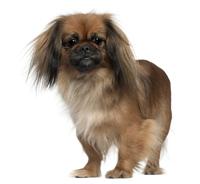 Pekingeserhund