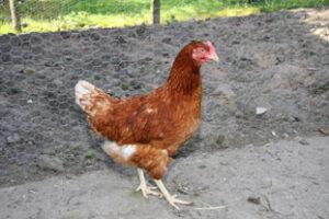Hønen